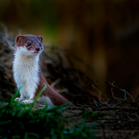 weasel by Ionel Covariuc - Animals Other