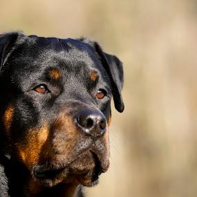 by Manuela Kägi - Animals - Dogs Portraits ( dog, friend, rottweiler, #GARYFONGPETS, #SHOWUSYOURPETS )