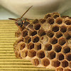 Brown Large Paper Wasp
