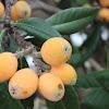 Loquat,Japanese medlar, Japanese-plum