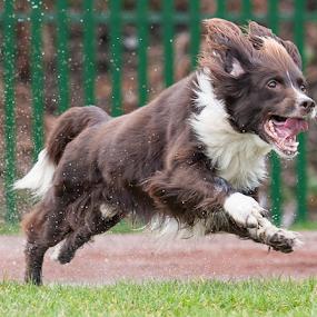 by Michael  M Sweeney - Animals - Dogs Running ( springer spaniel, michael m sweeney, dog )
