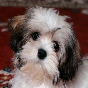 cute puppies wallpapers   android apps on google play