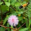 giant honey bee