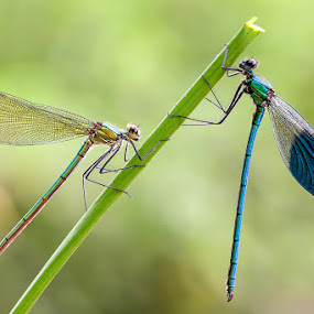 Calopterix Splendens (♂+♀) by Eric Niko - Animals Insects & Spiders ( calopterix splendens, d700, damesfly, dragonfly, sigma 150os,  )