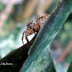 Common Housefly Catcher (Male)