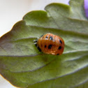 Multicolored Asian Lady Beetle (pupa stage)