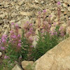 Alpine Fireweed Plants