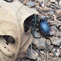 Blue fungus beetle