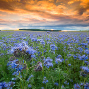 Blue Fields by Ben Leng - Landscapes Sunsets & Sunrises ( field, farm, scotland, sunset, agriculture, carrot hill )