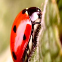 Color Lady Bug LWP Pro icon