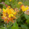 Birds-Foot Trefoil