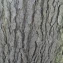 Kentucky coffe tree