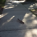 Common gray squirrel