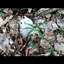 Cut-leaf Toothwort