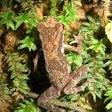 Kelaart's dwarf toad