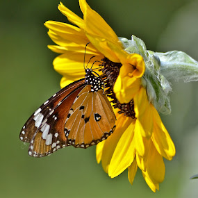 A Butterfly to a flower by Amit Naskar - Animals Insects & Spiders ( butterfly, nature, plain tiger, flower )