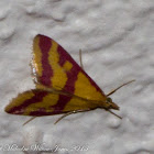 Scarce Crimson & Gold Moth
