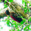 Crimson-winged Woodpecker, Picus puniceus, Pelatuk Sayap Merah