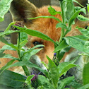 Red Fox (vixen)