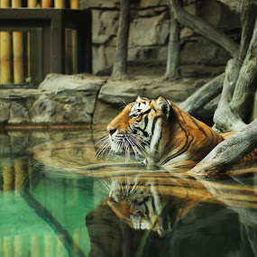 Queen of the Jungle by Jacob Council - Animals - Cats Portraits ( busch gardens, tiger, jungle, queen, cooling down )