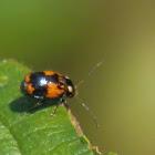 Case bearing leaf beetle