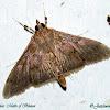 Crambidae moth