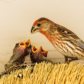 Finch Father Feeding by Ken Wade - Animals Birds ( nestlings, house finch, haemorhous mexicanus, baby birds, parenting,  )