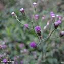 Tagulinaw, Lilac Tassleflower