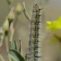 Lasiocampidae