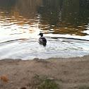 Swimming Bird
