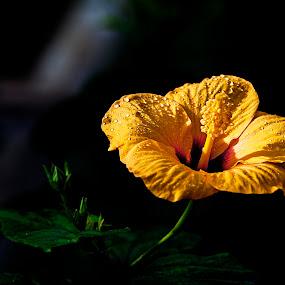 After drizzle by Jacek Steplewski - Flowers Single Flower ( water drops, raindrops, yellow flower, flower,  )