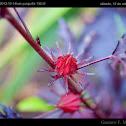 Jamaica Flower / Flor de Jamaica