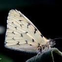 Hesperocharis Butterfly