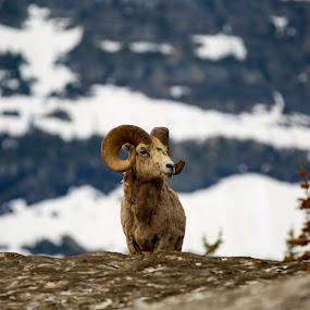 Bighorn by Matt Padgett - Animals Other