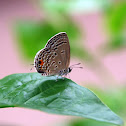 Plains Cupid, Cycad Blue