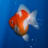 Aquarium Goldfish LIVE WALLPAP