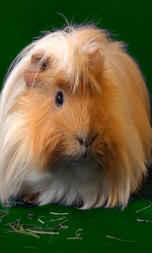 Guinea Pig Live wallpaper