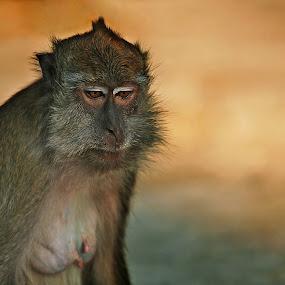 Sad monkey by Alexander Kulla - Animals Other ( ape, sad, wildlife, malaysia, monkey, animal,  )