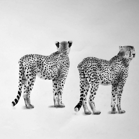 The Brothers by Paul Murray - Drawing All Drawing ( pencil cheetah wilglife )