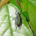 Weevil - Gorgojo