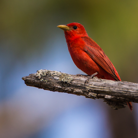 Summer Tanager by Robert Strickland - Animals Birds ( bright, red cockaded woodpeckers, nice, passer, birds, feather, predator, time, tree, nature, fulvus, raptor, griffon, falconry, black, flower, element, isolated, wild, wing, singing, parent, prey, hawk, sitting, horizontal, outdoors, owl, endangered, branch, perching, small, graphic, tropical, retro, wildlife, cute, vultur, drawing, character, berry, predatory, bilberry, carrion, beautifully, gyps, vulture, vintage, wingspan, beautiful, plumage, haliaeetus, up, sparrow, bird, flight, hunter, pattern, pet, background, beak, falcon, summer tanager, cut, standing, garden, design, studio, cartoon, wise, illustration, wisdom, shot, robin, ornithology, owlet, wings, fruit, eagle, symbol, white, forest, winter, environment, sweet, fly, food, adorable, songbird, floral, scavenger, beauty, photography, flying, condor, carnivore, vector, animal, icon, avian, vertebrate, photo, color, blue, brown, house sparrow,  )