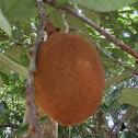 Jackfruit/Jáca