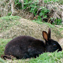 Black European Rabbit