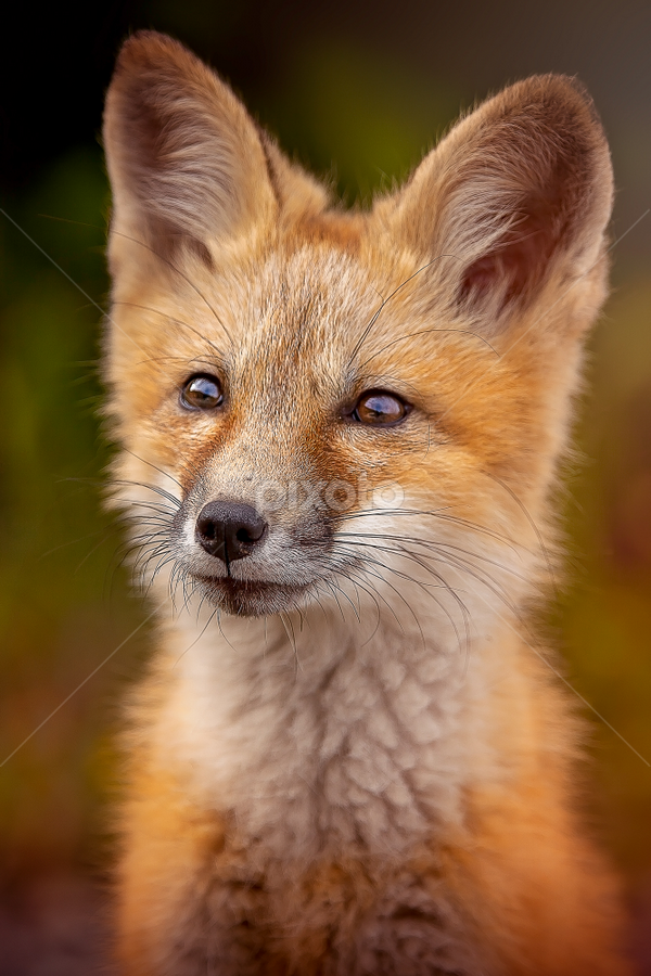 Red Fox by Ken Bruce - Animals Other Mammals ( fox, red, canada, outdoors, red fox, animal,  )