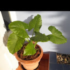 Colocasia. Taro