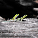 Thin tree lizard