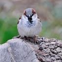 Common sparrow, gorrión común