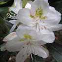 Great Laurel or Rosebay Rhododendron