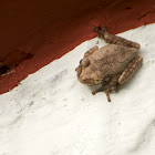 Veined Treefrog