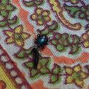 Predatory stink bug (nymph)
